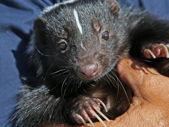 Skunks use their long claws to dig for grubs and worms and to create sleeping burrows