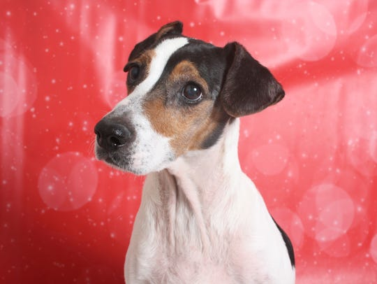 Ren is a 5-year-old, white and black, male Jack Russell