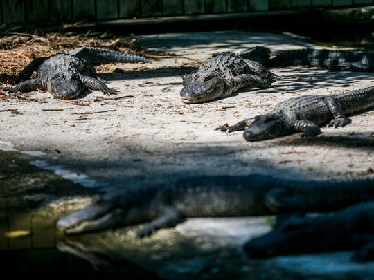 Alligators sunbathe at the Everglades Wonder Gardens in Bonita Springs on Sunday, Nov. 5, 2017, for its reopening after suffering damage from Hurricane Irma.