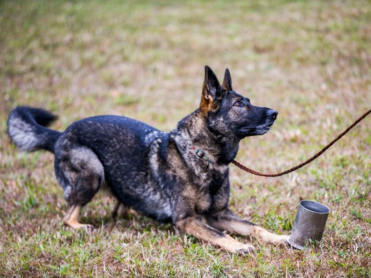 Zayla, of Port Charlotte, does a training exercise during a K-9 rescue seminar in Lehigh Acres put on by the Southwest Florida K-9 Search Unit on Thursday, Dec. 28, 2017.