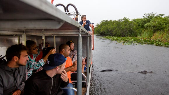 An alligator passes by during Kathy Britt's airboat
