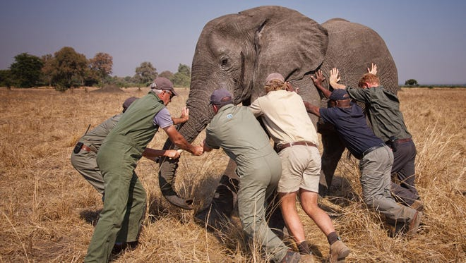The redhead on the end is Prince Harry, helping tip a sedated elephant before it's relocated to a wildlife reserve in Malawi, Africa.