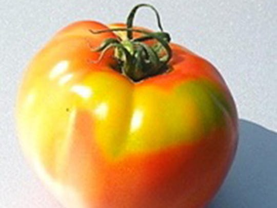 Yellow shoulder tomatoes have hard yellow-green places
