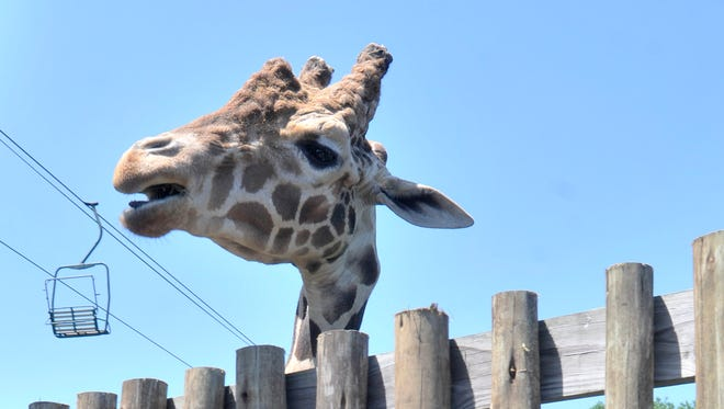 Willie, a 12-year-old, 17-foot-tall giraffe looks over the fence Tuesday, April 21, 2015, at the Montgomery Zoo. Willie is a proud papa to a new baby born March 23, who will be shown for the first time Wednesday.