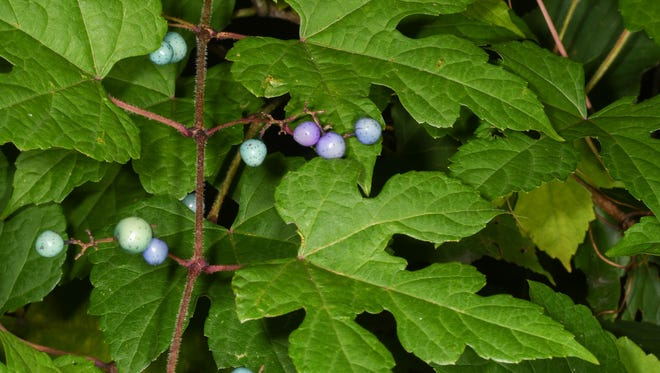 One of the most invasive vines in our area, porcelain vine is easily identified by its blue/purple fruit and finely dissected leaves.