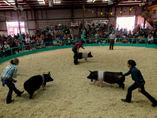 Contestants show off their pigs to swine judge Jon DeClark, pictured at top right, Wednesday during the swine show at the McGee Park's Jerry Connelly Show Ring in Farmington.