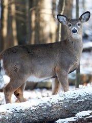 Deer inside the Binghamton University Nature Preserve on Wednesday, December 13, 2017.