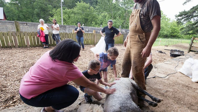 From left: Kim Start, of Baltimore, with her children Olivia, 6, and Ava, 4, touch a freshly sheared ewe after Nathan Good did the shearing during a community celebration at the newly opened Teaching Museum for the Fiber Arts and Textiles in North Hopewell Township .