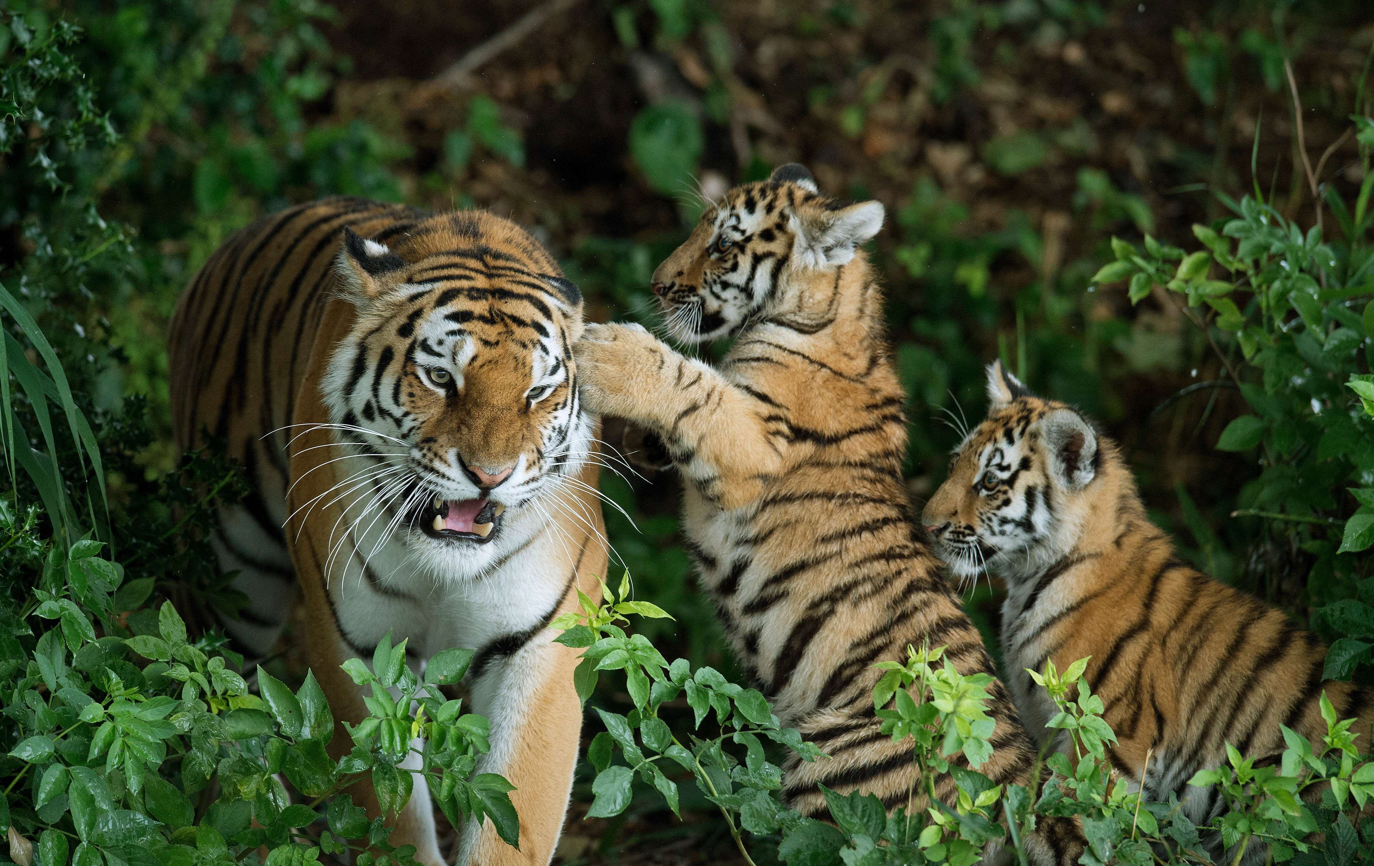 Image of: Big Game Two Rare Amur Tiger Cubs Experience Their Reserve For Usa Today Endangered Animals Poachers Are Hunting Into Extinction
