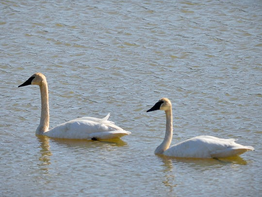 A nesting pair of trumpeter swans swims together April
