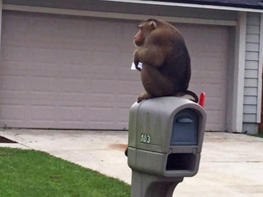 A monkey that escaped its owner's home sits on top of a mailbox after Sanford police responded to a call that a monkey was eating mail out of the box in Sanford, Fla., Monday, Sept. 28, 2015.