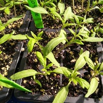 Southwest Yard & Garden: Curly Top Virus – hints for Healthy Tomatoes