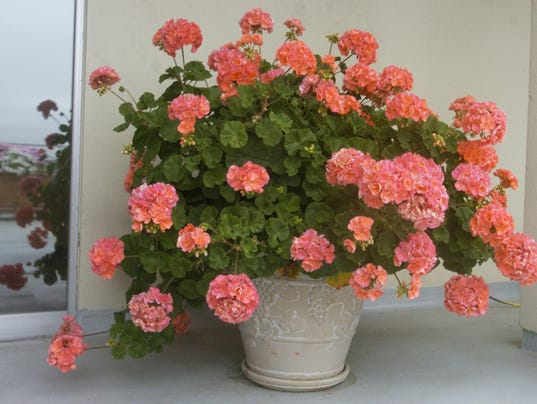 REAL LIVING GERANIUMS