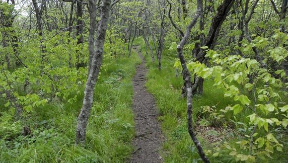 The Mountains to Sea Trail is well worn through a stand