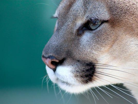 #stockphoto Florida Panther Stock Photo
