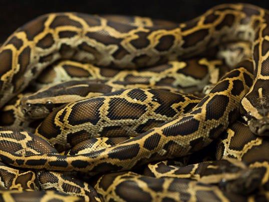 istock Burmese Python