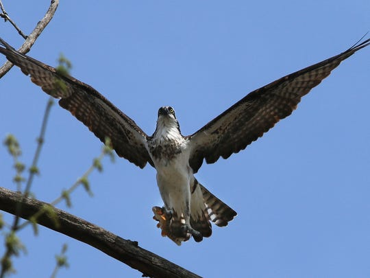 Third osprey photo