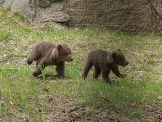 Two new kodiak bear cubs that were orphaned in Alaska
