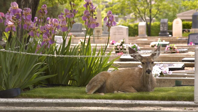File photo: A deer rests in the shade of a tree at Lone Mountain Cemetery in Carson City in the spring of 2004.