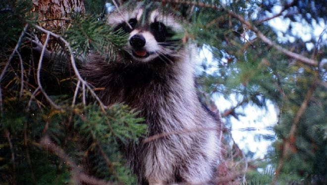 A young raccoon tested positive for rabies in Weld County. A woman brought the raccoon into her home after she thought it was abandoned and 21 people were exposed to the disease.