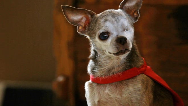 Harley, a 14-year-old Chihuahua owned by Rudi Taylor of Bethoud, Colorado, is the winner of this year's American Humane Association Dog of the Year award.
