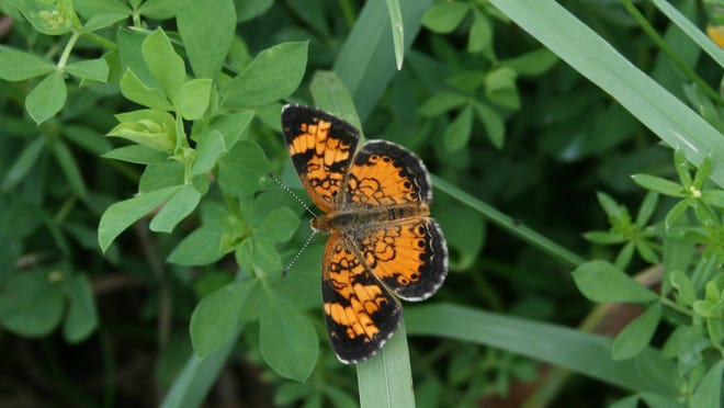 Pearl crescent butterflies can be found in warm meadows or lawns this time of year, flitting around between flowers and puddles as they search for mates.