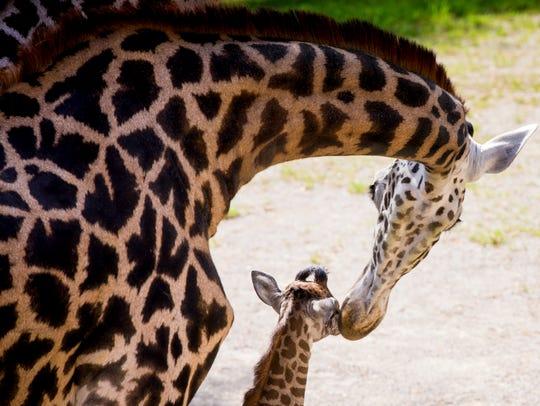 Cece licks her new female baby giraffe, who was born