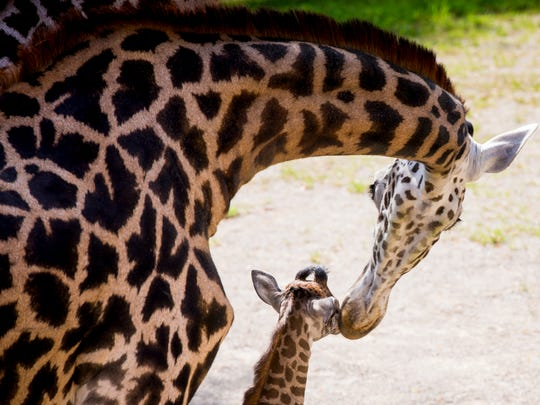 Cece licks her new female baby giraffe, who was born