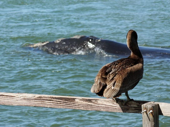 An endangered North American right whale mother and her calf make their way out of the Sebastian Inlet in February 2016, near the mouth of the Indian River Lagoon, on their way back to the ocean. Provided photos courtesy of Lenny Salberg of the Florida Fish and Wildlife Conservation Commission.