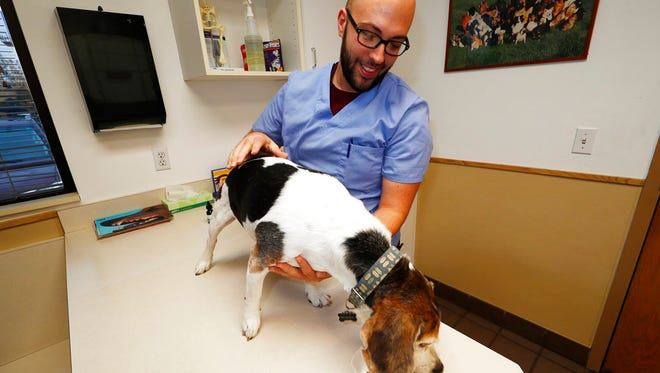 In this Monday, Oct. 30, 2017, photo, Luke Byerly guides his 14-year-old beagle, Robbie, as the dog eats his food treated with CBD oil during a break at Byerly's job as a technician at a veterinary clinic in east Denver. People anxious to relieve suffering in their pets are increasingly turning to oils and powders that contain CBDs, a non-psychoactive component of marijuana.