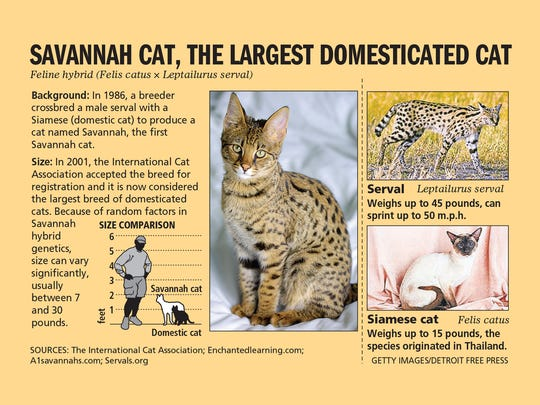 The Savannah cat is a hybrid, a cross between the serval and Siamese cat.