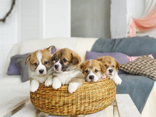 Four puppies sitting in a basket.