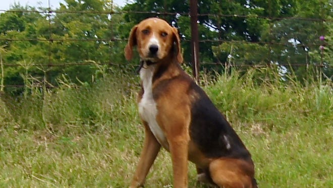 Elkton is a sweet, docile guy that would make someone a wonderful pet. He's a 3 year old hound mix waiting to be noticed at Crittenden Co. Animal Shelter.