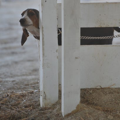 A dog peeks around a fence at the Wayne County Fairgrounds.