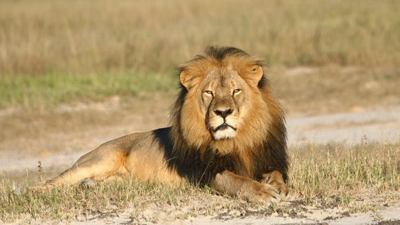 Cecil the lion rests in Hwange National Park, in Hwange,