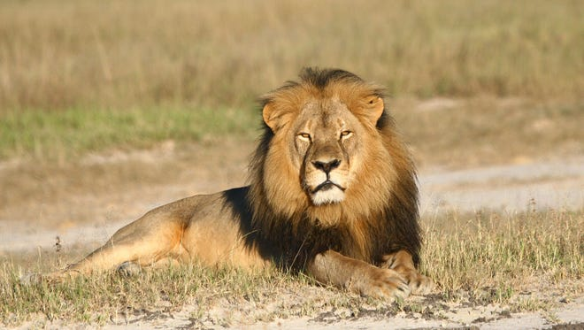 Cecil the lion rests in Hwange National Park, in Hwange, Zimbabwe.