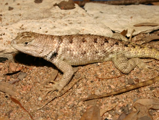 Twin-spotted-Spiny-Lizard-1.JPG