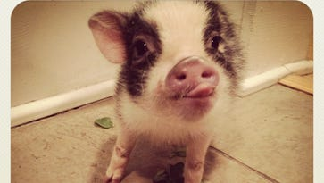 Penelope, the pet pig of Mike and Katie Waits.