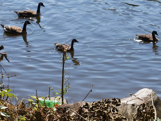 Geese swim by a plastic bottle along the Passaic River on June 29, 2018.