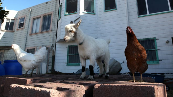 Two chickens and a goat walk through an urban yard in San Francisco.