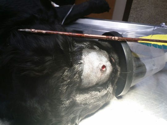 Gemma, a flat-coated retriever, is shown after the arrow was surgically removed from her head.