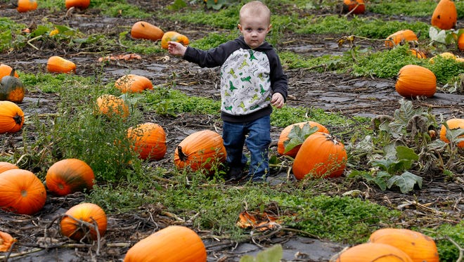 Dropping by Sunday, Oct, 12, 2014 during the annual Applefest weekend event at Lattin's Country Cider Mill and Farm in Olympia, Wash. with his mom Tiffany Page and aunt Stephanie Steen two year-old Landon gingerly negotiates rows of pumpkins after he locks onto on of his choices. Pleasant dry weather greeted throngs of visitors to the popular cider shop with an estimated 5,000 or more of their popular apple fritters heading out the door over the weekend. (AP Photo/The Olympian, Steve Bloom)
