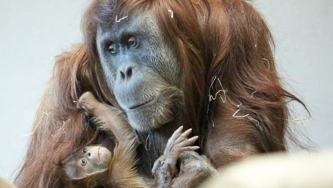 Cerah, a newborn Sumatran orangutan, will make her public debut Friday, April 13, at Denver Zoo.
