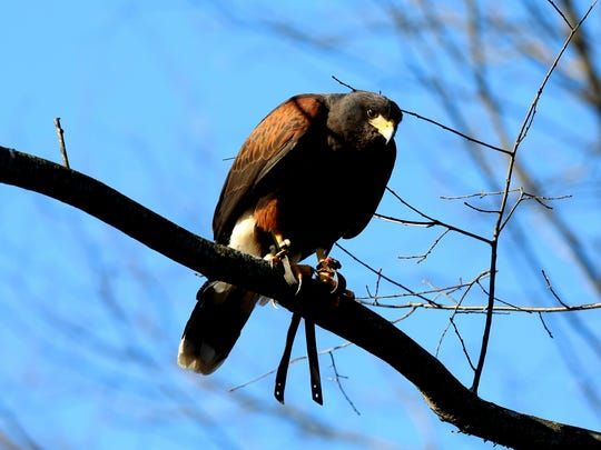 Donnie, one of two Harris's hawks that belong to John Shuell of White Lake, looks down towards a small area of the field while on the hunt for rabbits on public land in Hartland, Mich. on Friday, Dec. 4, 2015.