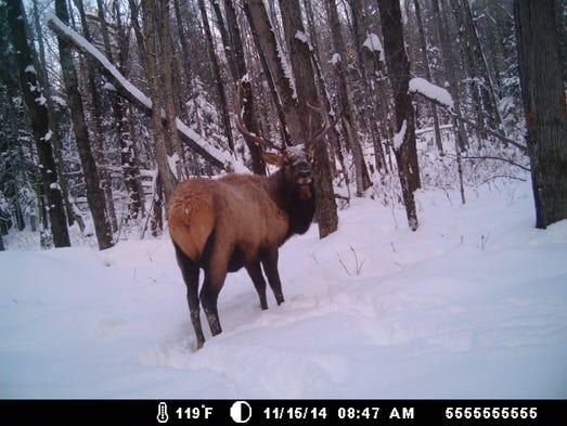 A big bull elk in Clam Lake. An entry in the Jan./Feb.
