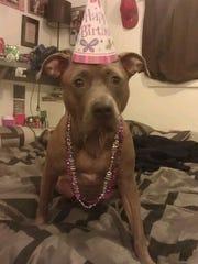 Soraya, a pit bull, at age two.