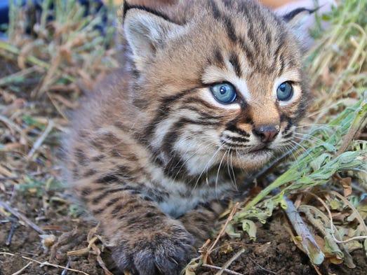 Meet B327 -- a 3 to 4-week-old baby bobcat at Santa