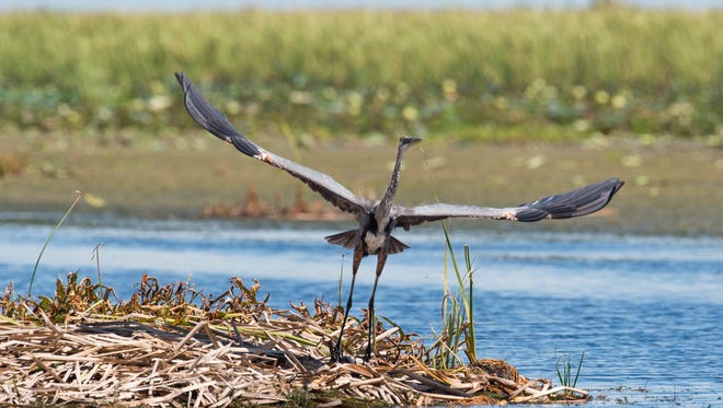 A great blue heron, the largest of the herons, flies off its nest in Lake Okeechobee on Aug. 13, 2016. Recently, Senate Bill 10 changed from calling for option 1 (a 60,000–acre land buy) to option 2 (a 30,000-acre composite of existing state-owned lands). The new option has roughly same capacity to hold Lake Okeechobee's outflows outflows to the St. Lucie River, about 300,000 acre-feet.