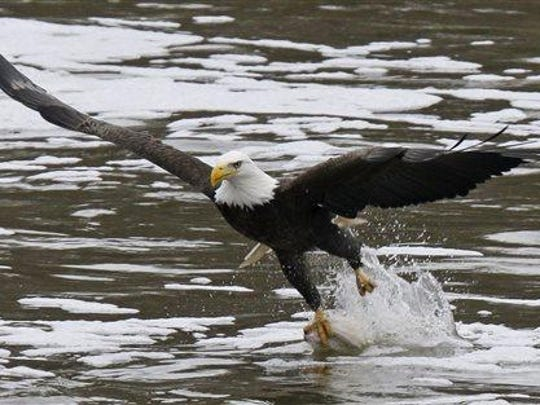 In this Jan. 28 photo, a bald eagle grabs a fish from the Haw River below the B. Everett Jordan Lake dam in Moncure, N.C. Before 1982, North Carolina had no known nesting pairs of bald eagles. Currently it is estimated that 200-250 pairs of nesting bald eagles can be found statewide.