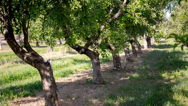 Rows of trees at the apple orchard at U-Pick Mesilla Valley Apples, April 20, 2016.